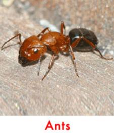 garden ant control